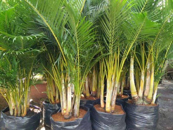 cây dừa cảnh