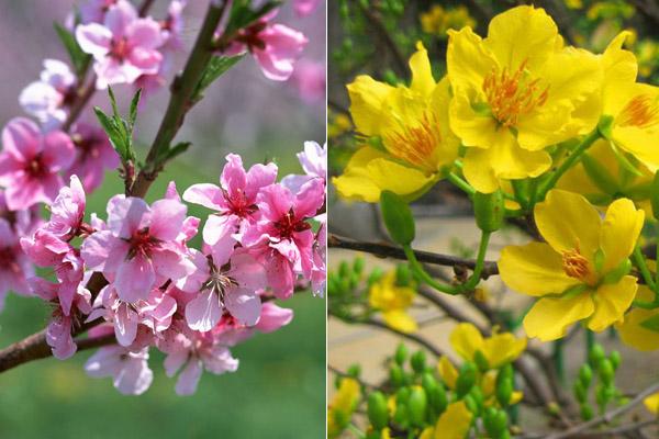Hoa đào - Hoa mai, hai loài hoa quen thuộc với người Việt mỗi độ tết đến xuân về