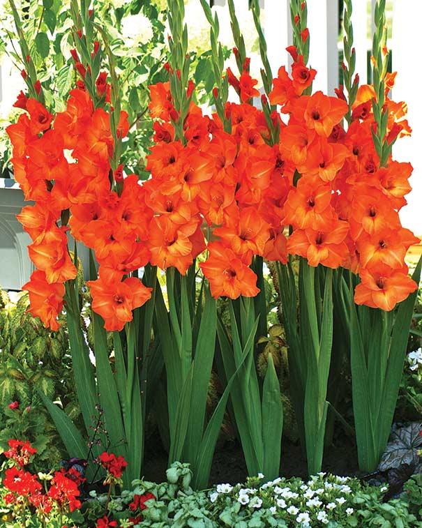 Hoa lay ơn tươi lâu, kiểu dáng đẹp mang ý nghĩa tốt thích hợp đặt bàn thờ