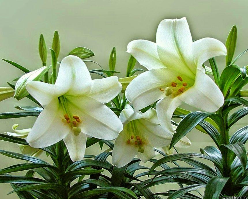 Không nên cắm hoa ly trên bàn thờ