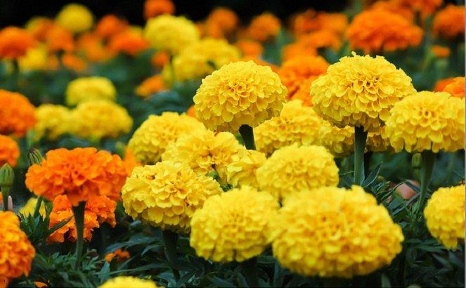 Hoa cúc vạn thọ có mùi hôi không nên chưng bàn thờ