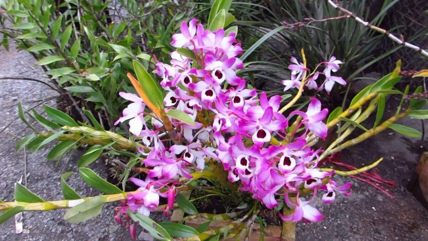 Hoa phong lan là loài hoa không nên cắm trên bàn thờ