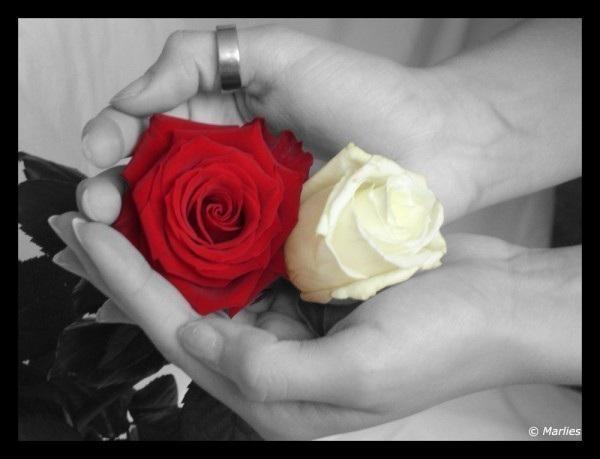 Bông hồng cài áo - nét đẹp trong văn hóa Việt Nam